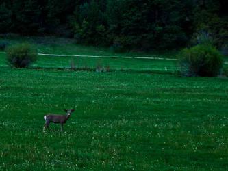 Deer in Feild by Gypsy-Stock