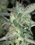 Mystic Marijuana