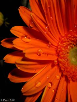 Orange Gerbera Daisy IX