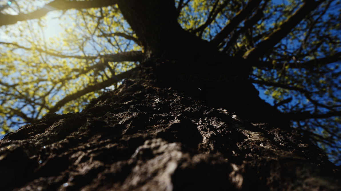 Rising Oak by 1BeneDict