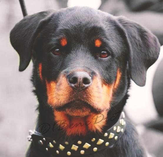 Rottweiler Wallpaper: Rottweiler Puppy By 1BeneDict On DeviantArt