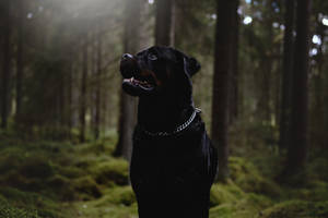 Rottweiler in the Woods by 1BeneDict