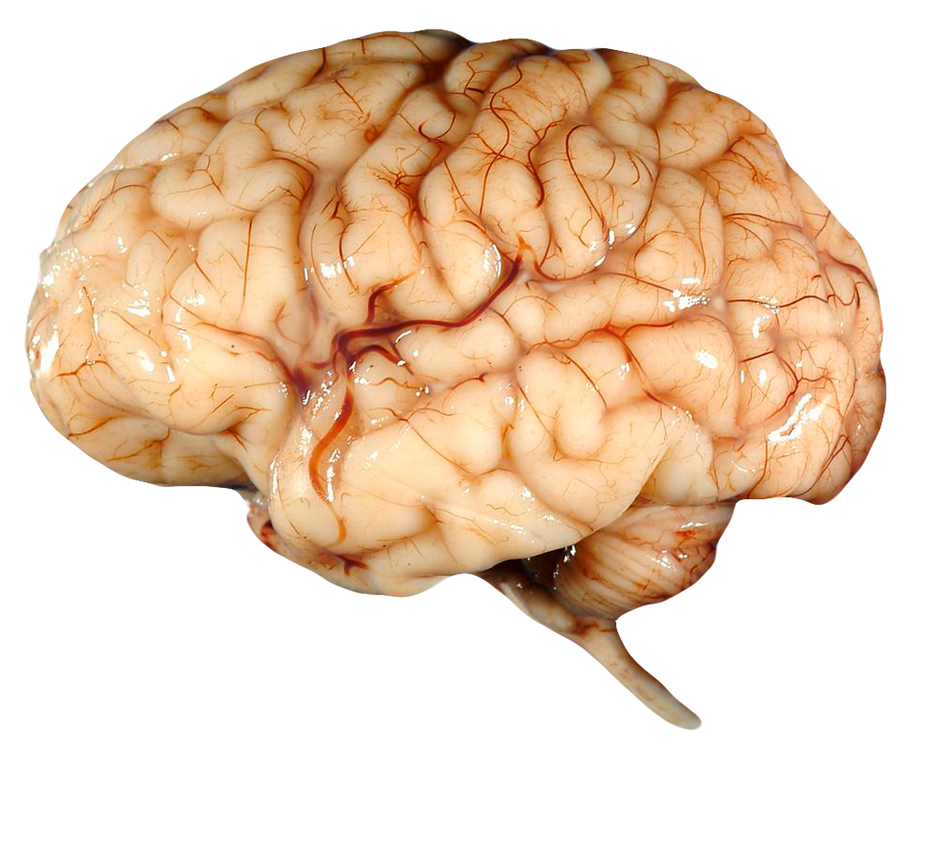 Brain FREE Transparent PNG by AbsurdWordPreferred