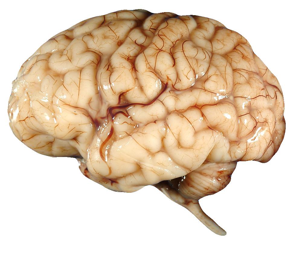 Brain FREE Transparent PNG