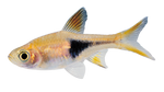 Little Fish png