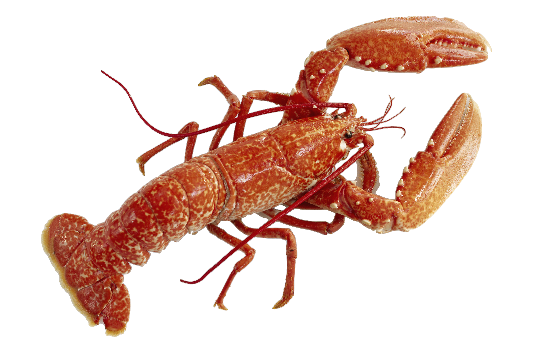 Lobster png by AbsurdWordPreferred