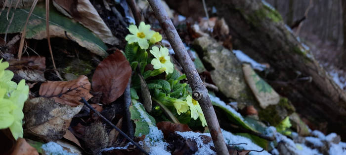 Spring is coming - Primula