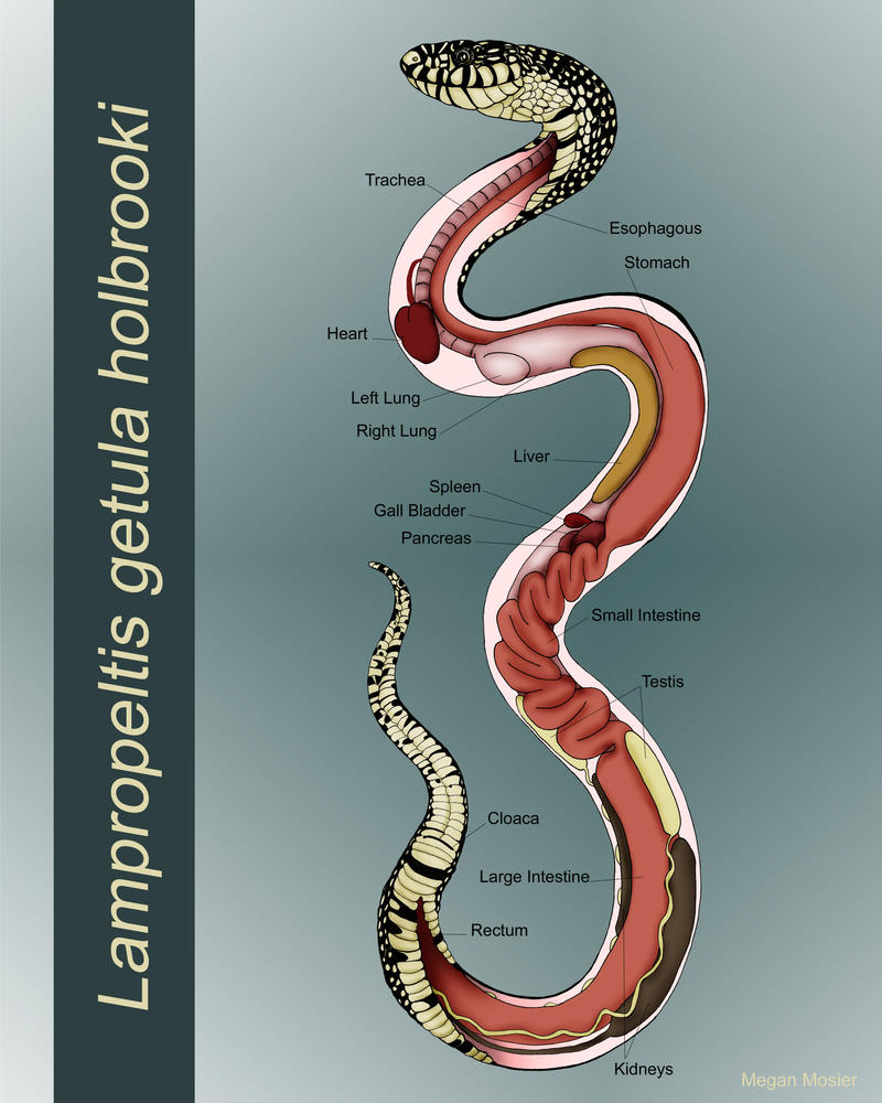 Anatomy of a Snake by MeganMosier on DeviantArt