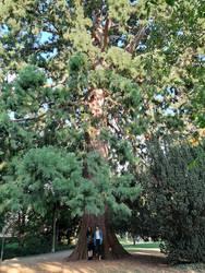 Unterm bayrischen Mammutbaum 2