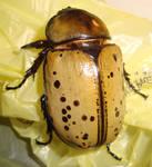 Big Female Beetle by Scarlet-Nokitsune
