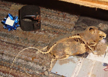 Mummified Mouse - Stock Reference by Scarlet-Nokitsune