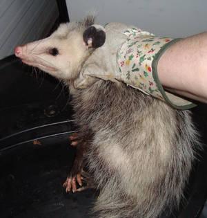 Possum Nine 4