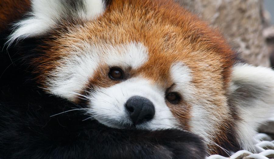 Red Panda - 3 by Lonewolf-Eyes