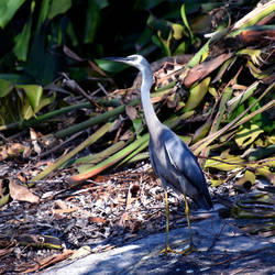 White faced heron by xjames7