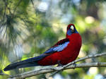 'Crazy' crimson rosella