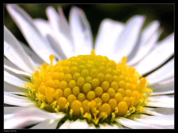 Daisy Dome by philemerson