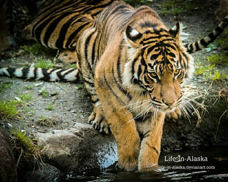 Tiger reflection by Life-in-Alaska on DeviantArt