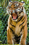 Morning Roar