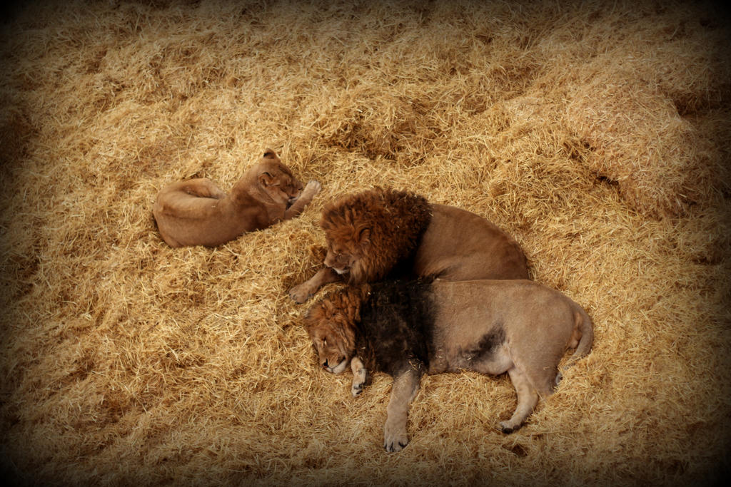 Sleepy Lions by mrthemanphoto