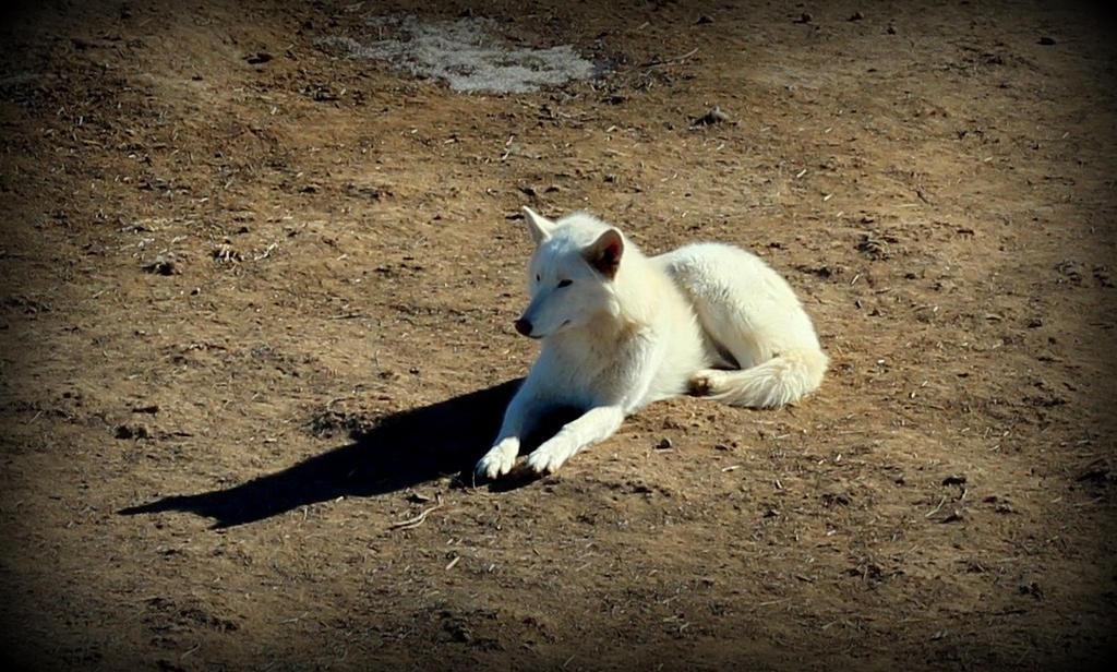 Wolf by mrthemanphoto