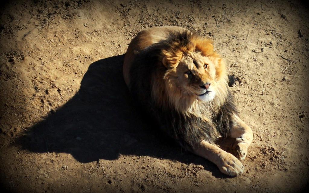 Happy Lion by mrthemanphoto