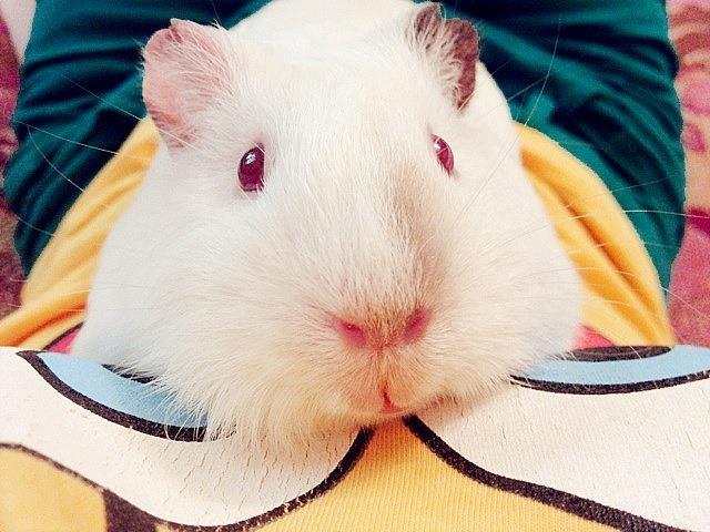 My guinea pig by Tikal-chan