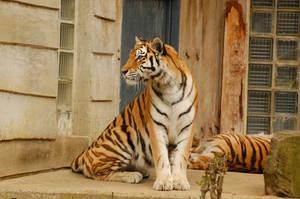 Sitting Tiger by KillerRu