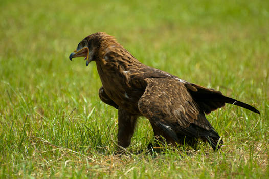 Pissed off eagle