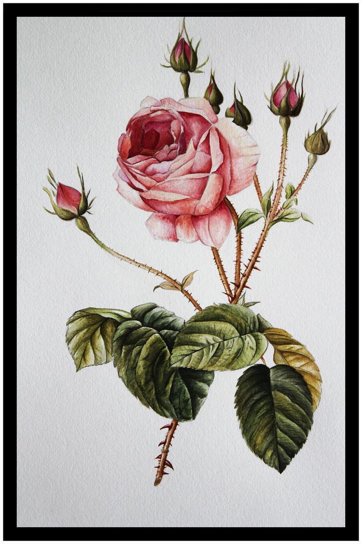 Rose study by EnniArt