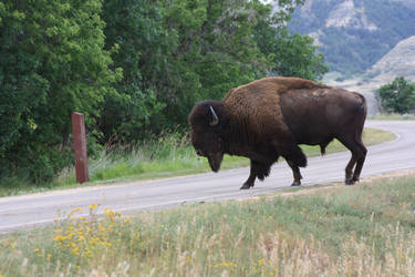 Bison Crossing by Rochedhel