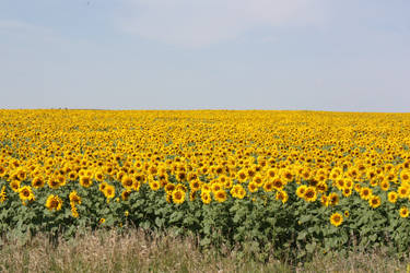 Sea of Sunflowers by Rochedhel