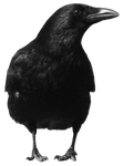 crow 4