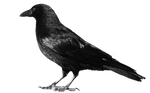 crow 7