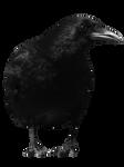 crow 11