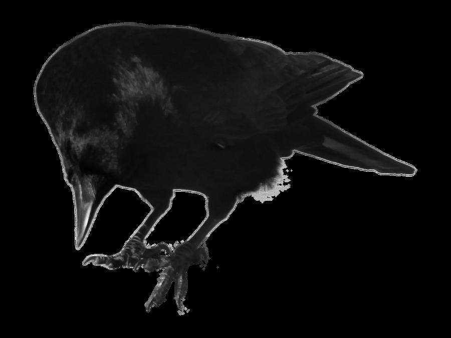 crow 12