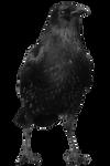 crow 15