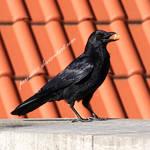 crow 16