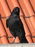 crow 18