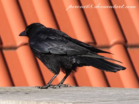 crow 22-1