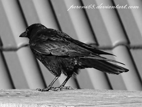 crow 22-2