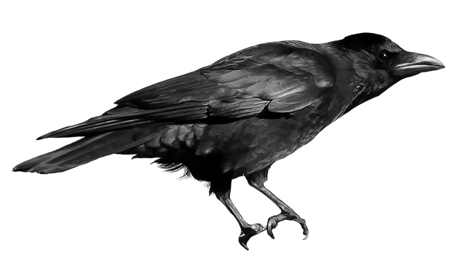 صور غراب سكرابز غراب سكرابز غربان صور غراب مفرغة png crow_21_2_by_peroni68-d4nrsur.png