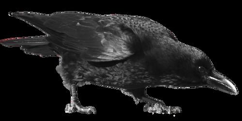crow 23
