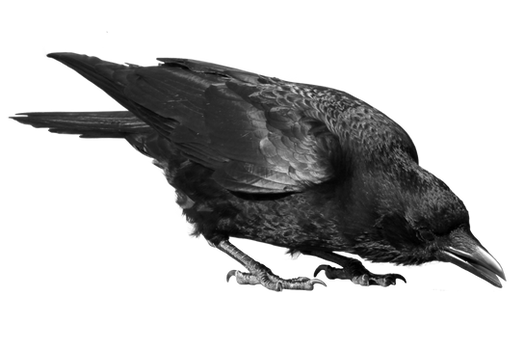 crow 24