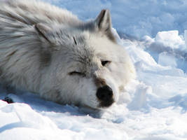 White Wolf Stock 3 by HOTNStock