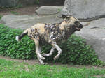 African Wild Dog Stock 1