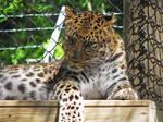 Amur Leopard Stock 1