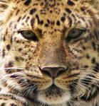 Amur Leopard Stock 3