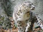 Snow Leopard Stock 7