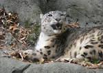 Snow Leopard Stock 9