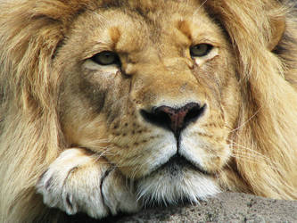 Lion Stock 1 by HOTNStock